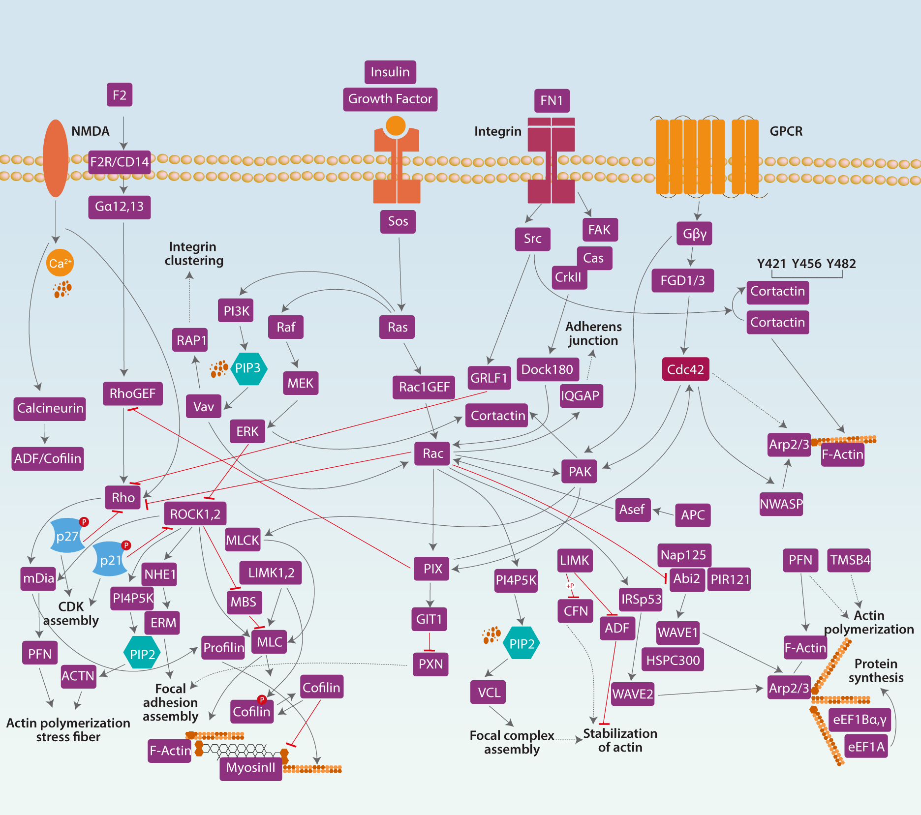 Signaling and the Cytoskeleton